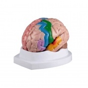 5-Part Colour Coded Brain Model